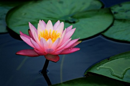 Flower names in hindi and english list of flowers lotus kamal nelumbo nucifera mightylinksfo