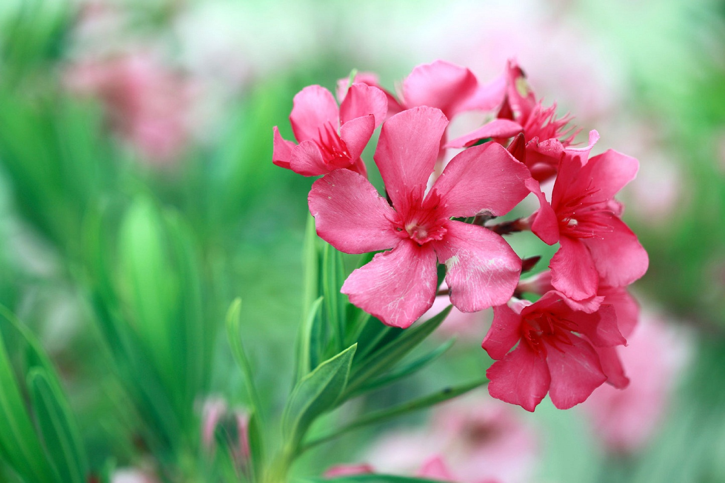 Oleander – कनेर – [Kaner]  IMAGES, GIF, ANIMATED GIF, WALLPAPER, STICKER FOR WHATSAPP & FACEBOOK