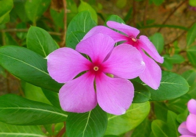 flower names in hindi and english फूलों के नाम list of, Natural flower