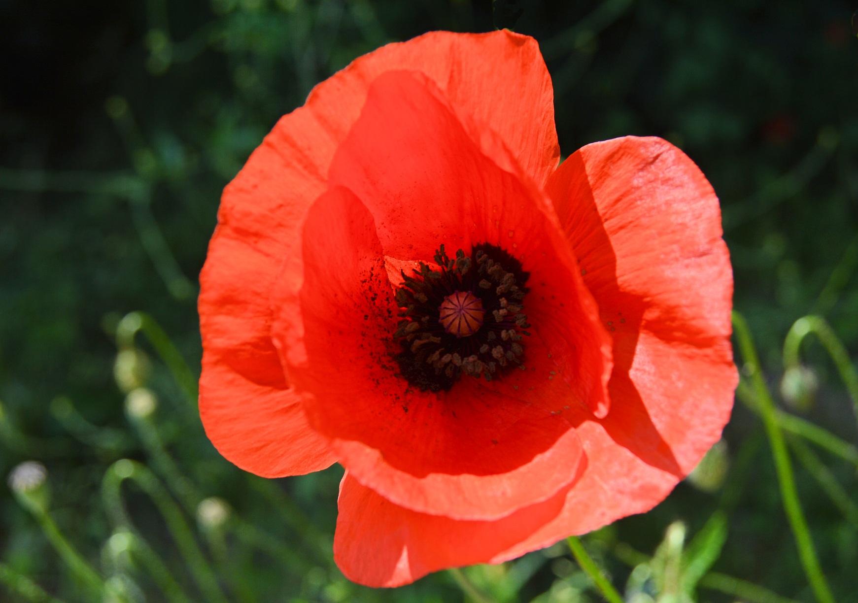 Flower names in hindi and english list of flowers poppy khasakhas afeem papaver somniferum mightylinksfo