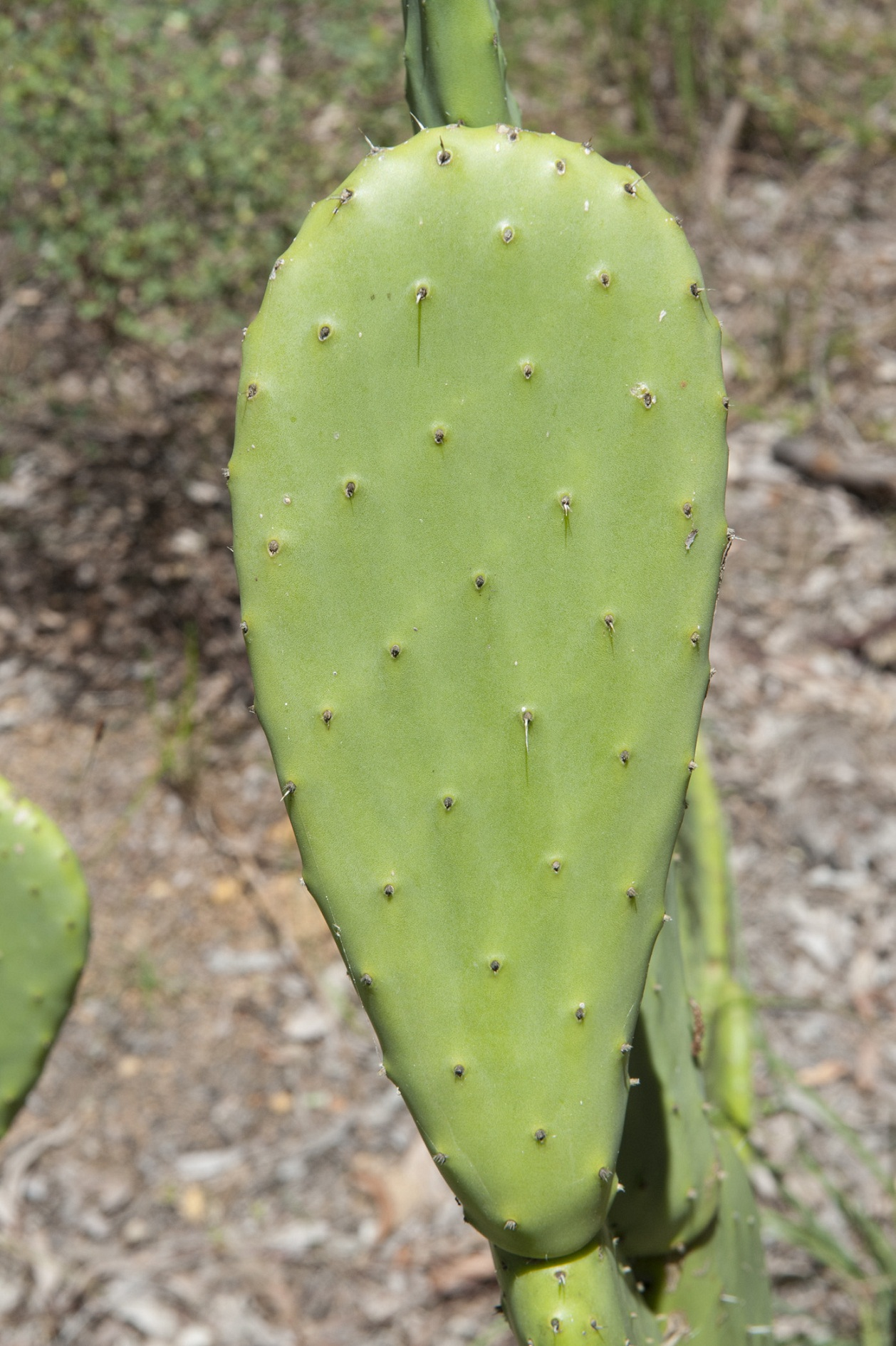 Flower names in hindi and english list of flowers prickly pear naagfani opuntia mightylinksfo