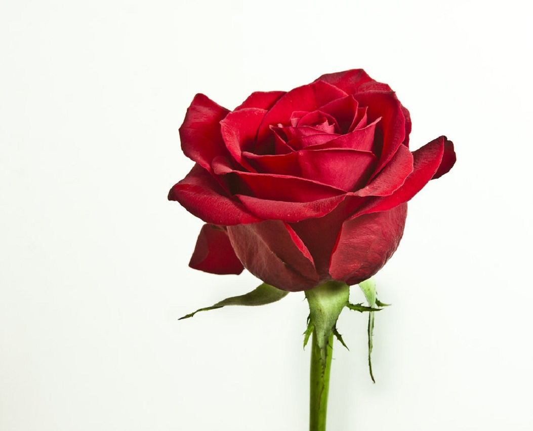 Single Red Rose Flower Stock Images: Flowers Names With Pictures