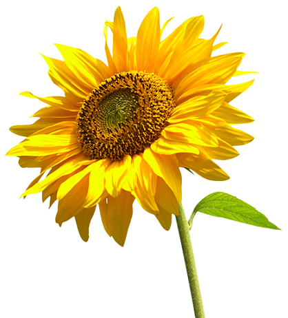Sunflower – सूरजमुखी – [Surajmukhi]  IMAGES, GIF, ANIMATED GIF, WALLPAPER, STICKER FOR WHATSAPP & FACEBOOK
