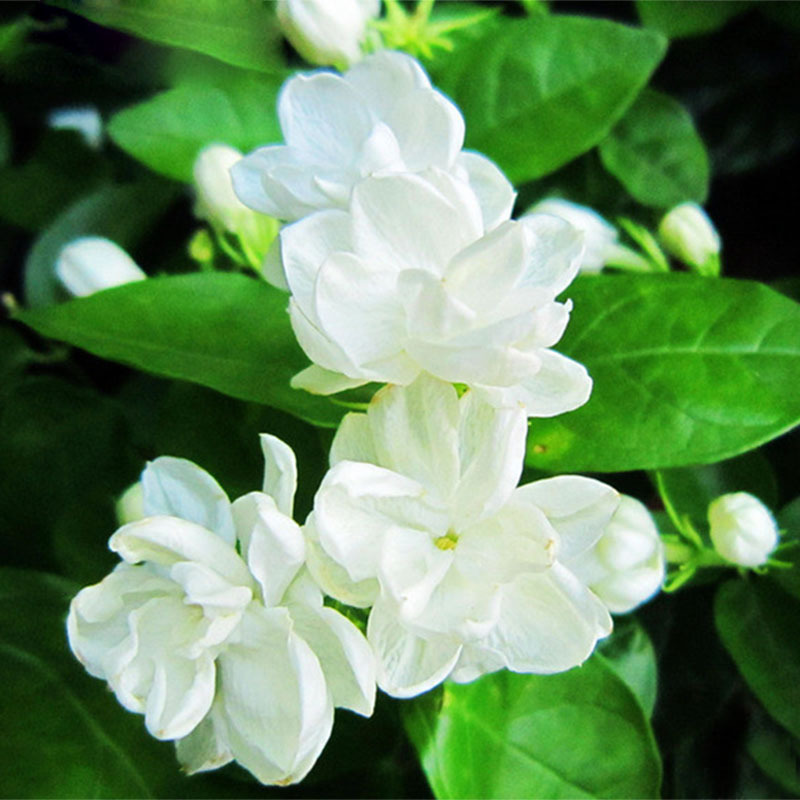 Arabian jasmine, Jasminum Sambac – मोगरा, मल्लिका – [Mogara, Mallika]  IMAGES, GIF, ANIMATED GIF, WALLPAPER, STICKER FOR WHATSAPP & FACEBOOK