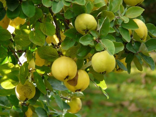 Bengal Quince, Bael fruit – बंगाल श्रीफल, बेल फल  IMAGES, GIF, ANIMATED GIF, WALLPAPER, STICKER FOR WHATSAPP & FACEBOOK