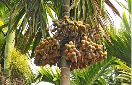 Betel Nut Tree स प र क ड Scientific Name Areca Catechu
