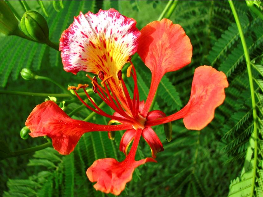 Delonix Regia – गुलमोहर – [Gulamohar]  IMAGES, GIF, ANIMATED GIF, WALLPAPER, STICKER FOR WHATSAPP & FACEBOOK