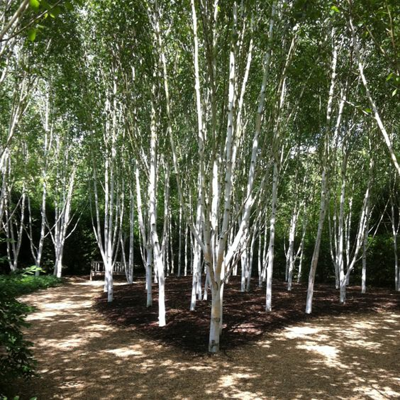 Himalayan Silver Birch – भोजपत्र  IMAGES, GIF, ANIMATED GIF, WALLPAPER, STICKER FOR WHATSAPP & FACEBOOK