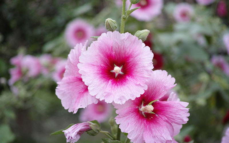 Flower Names In Hindi And English List Of Flowers