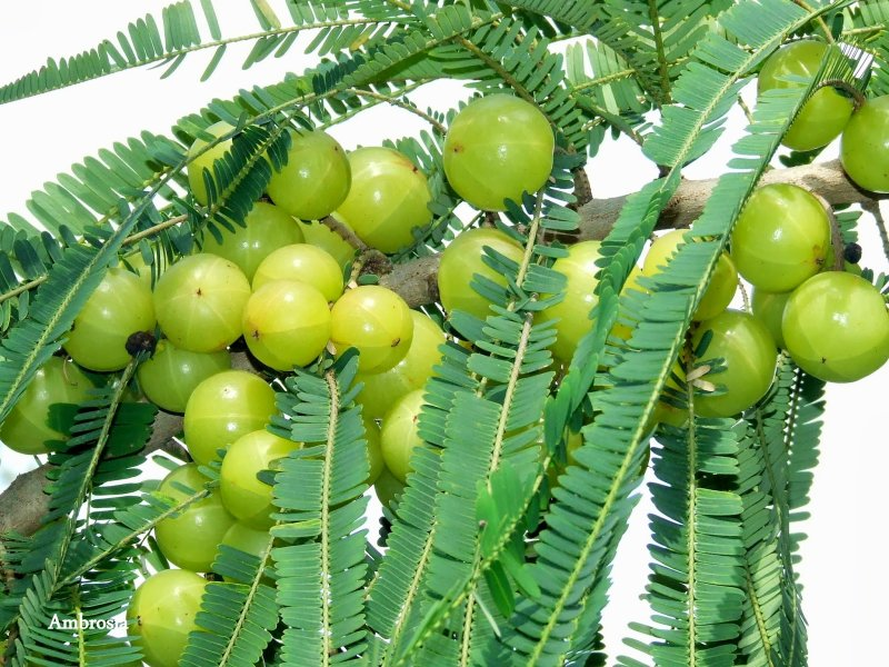 Indian Gooseberry, Emblic Myrobalan – भारतीय करौदा, आंवला  IMAGES, GIF, ANIMATED GIF, WALLPAPER, STICKER FOR WHATSAPP & FACEBOOK