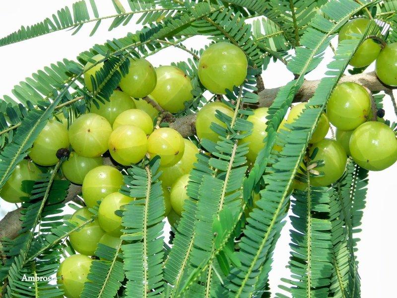 Indian Gooseberry, Emblic Myrobalan – भारतीय करौदा, आंवला