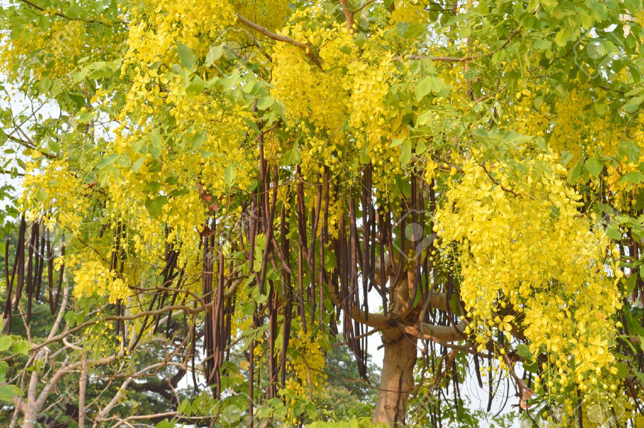 Indian Laburnum, Purging Cassia – अमलतास