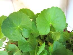 Indian Pennywort – ब्रह्मा माण्डुकी, ब्राह्मी