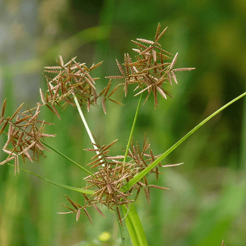 Nut Grass – नागरमोथ, मोठ  IMAGES, GIF, ANIMATED GIF, WALLPAPER, STICKER FOR WHATSAPP & FACEBOOK