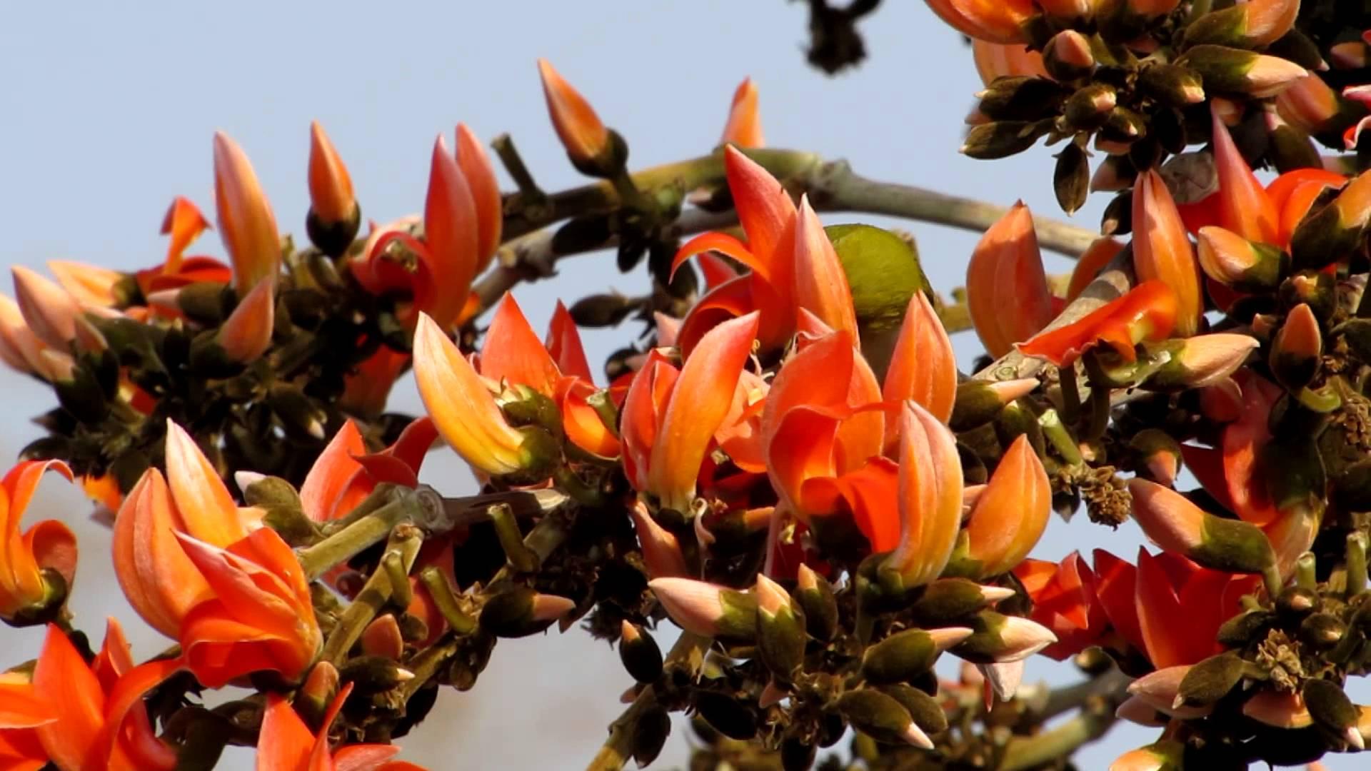 Flower names in hindi and english list of flowers palash palaash dhaak butea monosperma izmirmasajfo