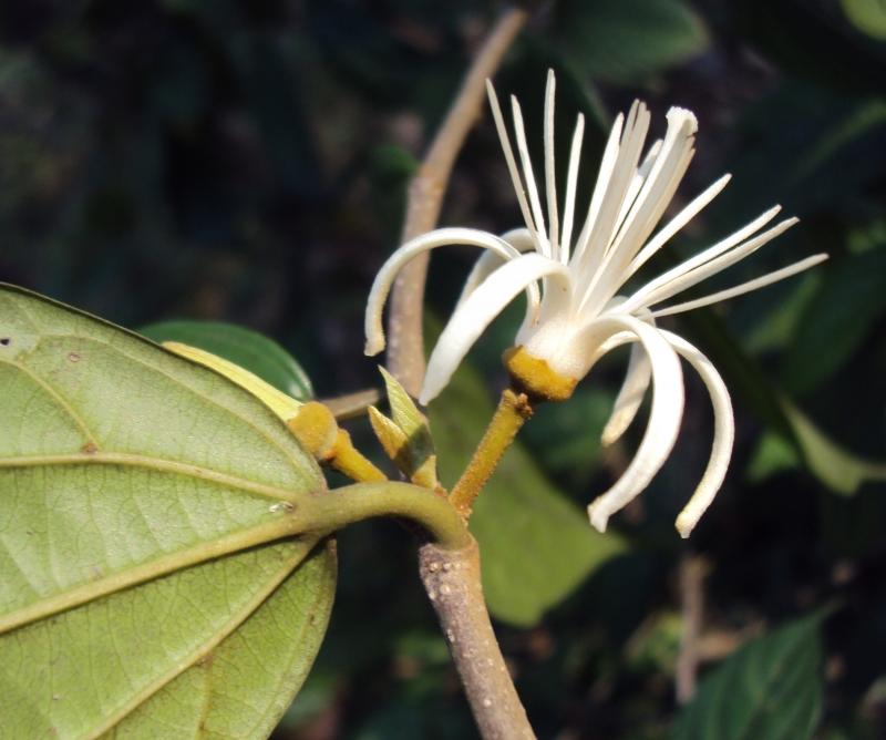 Sage-leaved alangium – अंकोल, ढेर, अकोला