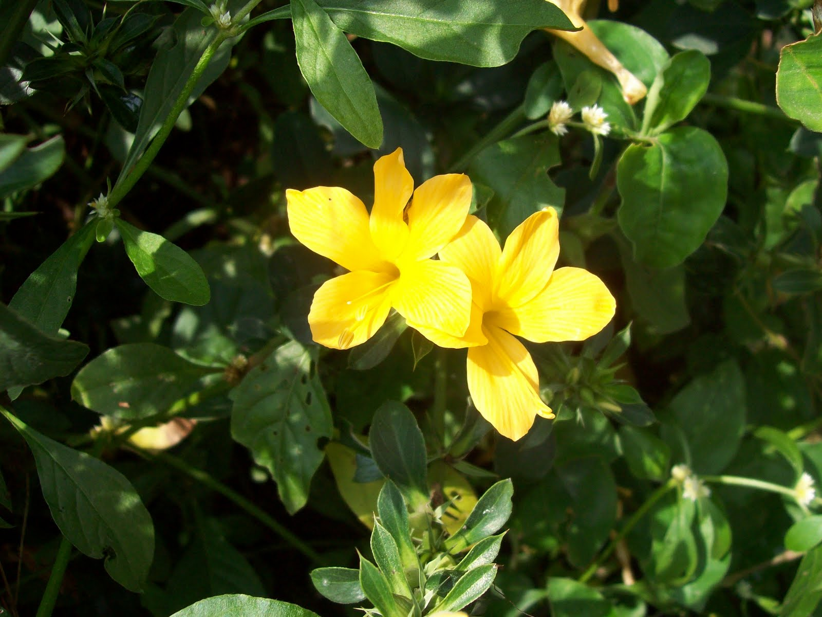 Yellow Barleria – झिंटी, कटसरैया  IMAGES, GIF, ANIMATED GIF, WALLPAPER, STICKER FOR WHATSAPP & FACEBOOK