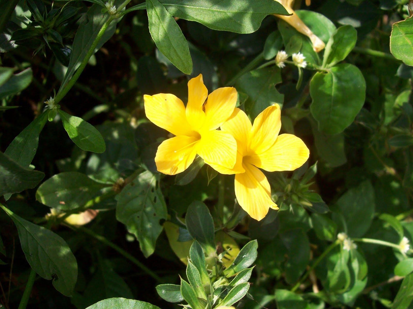 Yellow Barleria – झिंटी, कटसरैया